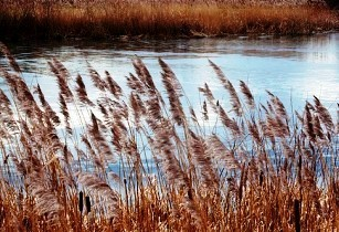 reed bed oman-ahisgett flickr